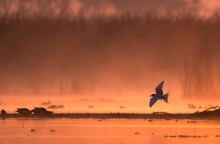 The River Tern Flying At Sunrise