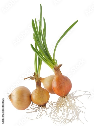 Foto onions bulbs with growing green leaves
