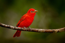 Red Tanager In Green Vegetatio...