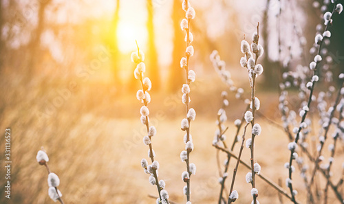 Fotografie, Obraz Flowering pussy willow branches on the sunset