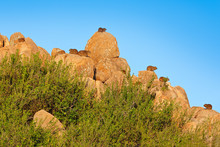 Herd Group Of Hyrax On The Stone Hill. Rock Hyrax In Rock Habitat, Stone In Rocky Mountain. Wildlife Scene From Nature. Many Hidden Hyrax. Procavia Capensis, Namibia. Rare Interesting Mammal, Africa