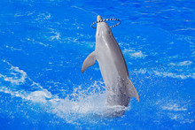 Dolphin With Hoop Ring - Lula Hop Plaing In The Ocean Sea. Ocean Wave With Animal. Bottlenosed Dolphin, Tursiops Truncatus, In The Blue Water. Wildlife Action Scene From Ocean. Funny Animal Image.
