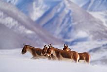 Kiang, Equus Kiang, Largest Of...