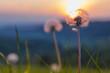 canvas print picture - Pusteblume im Abendlicht