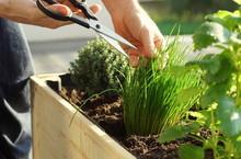 Picking Fresh Herbs Grown On A...