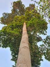 Takian Tree Towering Beautiful...
