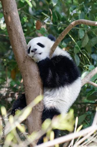 Fototapety, obrazy: Panda w ZOO