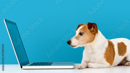 Fotografia Funny little dog lying in front of laptop and looking with interest at screen in