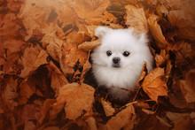 White Pomeranian Spitz Dog Hiding In Fallen Leaves
