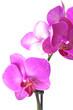 canvas print picture - Orchid purple colors