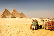 Camelos Observando As Pirâmid...