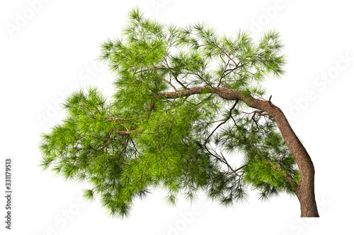 A coniferous evergreen spruce tree with a lush crown and a curved transverse trunk on a white background Canvas Print