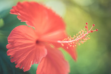 Perfect Tropical Nature Macro Background For Exotic Summer Background. Bright Red Hibiscus Floral Backdrop Flowers And Soft Green Blur Relaxing Moody Closeup Background