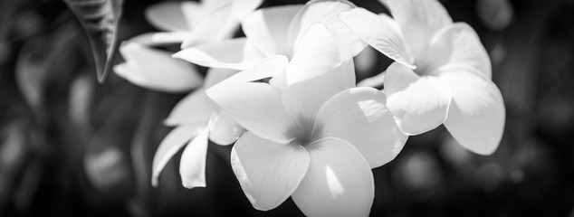 Details of blooming white dahlia fresh flower macro photography. Black and wh...