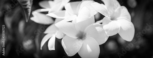 Details of blooming white dahlia fresh flower macro photography. Black and white photo emphasizing texture, contrast and intricate floral patterns in a white background wide banner panorama format.