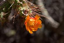 Colca Canyon Peru. Cactus Flower