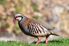 Red Partridge, Alectoris Rufa,...