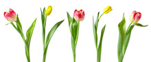 A Set Of Tulips Isolated On Wh...