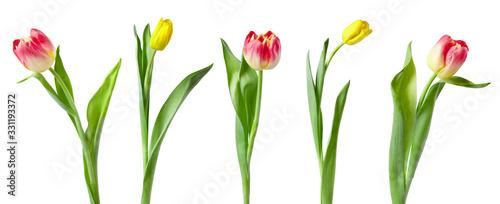Fotografia, Obraz A set of tulips isolated on white background.