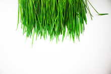 Green Grass For Cats Closeup. Sprouted Oats On A White Background
