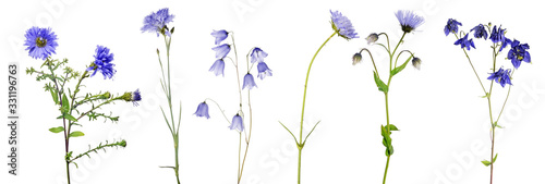 Fototapeta six isolated blue flowers with stems