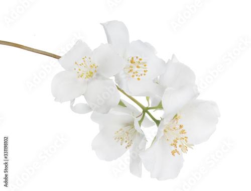 Fototapeta jasmine isolated branch with six large blooms obraz