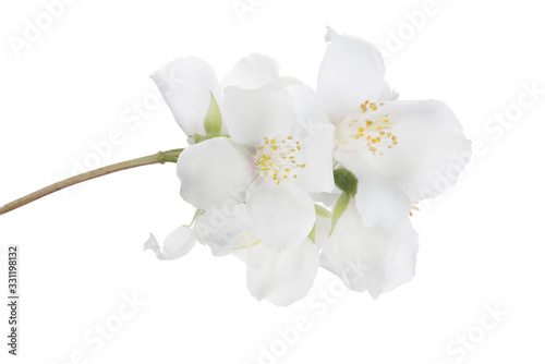 Photographie jasmine isolated branch with large fine blooms