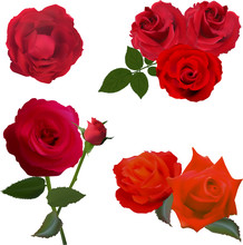 Seven Deep Red Rose Flowers Isolated On White