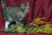 Tricolor Cat And Mimosa Branch