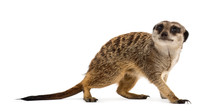 Suricate Standing And Looking ...