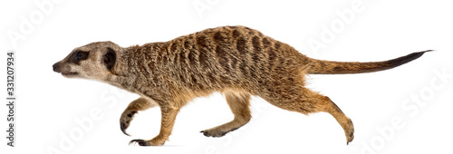 Suricate walking, isolated on white - fototapety na wymiar