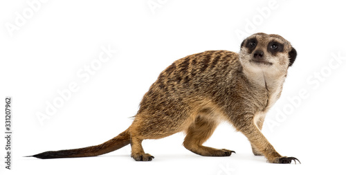 Obraz na plátně Suricate standing and looking up, isolated on white