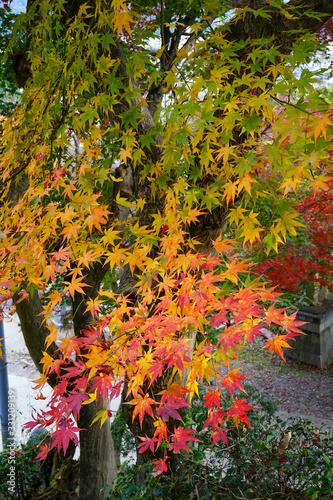 Fototapety, obrazy: 色付き始めた日本楓