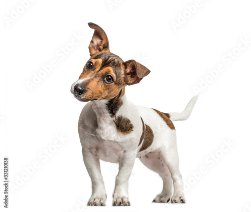 Obraz Jack Russell standing and bending head, isolated on white - fototapety do salonu