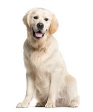 Golden Retriever, Dog, (16 Mon...