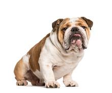English Bulldog, Dog Sticking The Tongue Out, Isolated On White