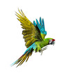 canvas print picture - Military macaw, Ara militaris, flying, isolated on white
