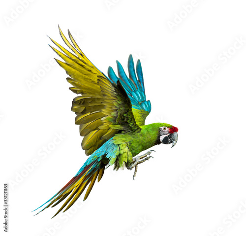 Fotografie, Obraz Military macaw, Ara militaris, flying, isolated on white