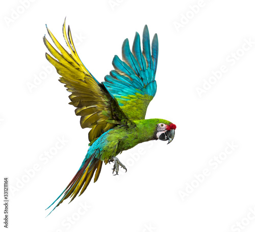 Military macaw, Ara militaris, flying, isolated on white Fotomurales
