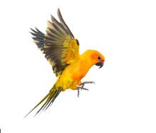 Sun Parakeet, Bird, Aratinga S...