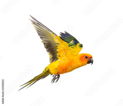sun parakeet, bird, Aratinga solstitialis, flying, isolated Fotomurales