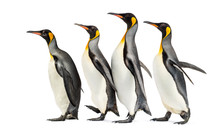Group Of King Penguins Walking In A Row, Isolated