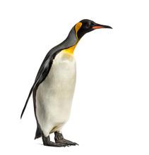 King Penguin Standing In Front...