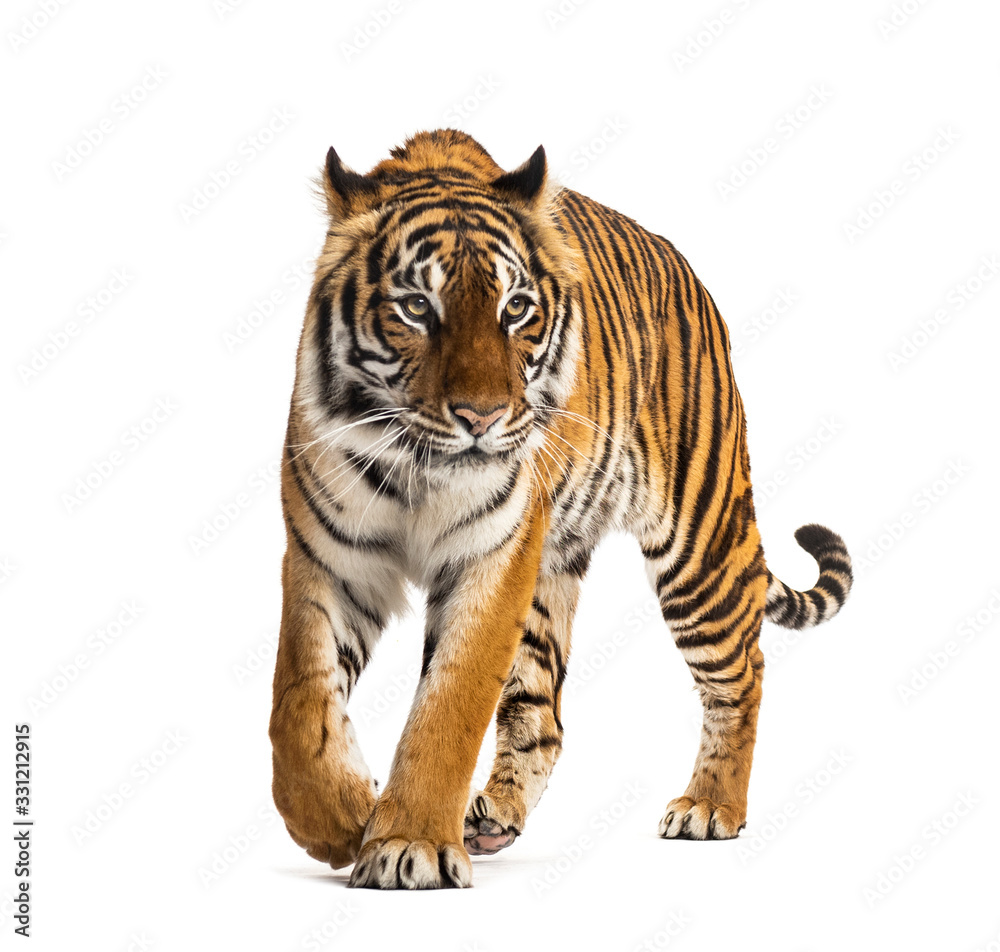 Fototapeta Front view of a tiger walking, big cat, isolated on white
