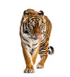 Tiger prowling, big cat, isolated on white