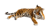Shy Tiger Lying Down, Big Cat,