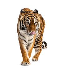 Tiger Prowling, Big Cat, Isola...