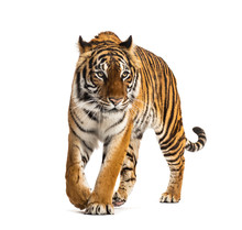 Front View Of A Tiger Walking,...