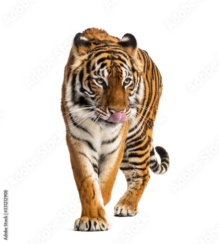Fotografía Tiger prowling, big cat, isolated on white