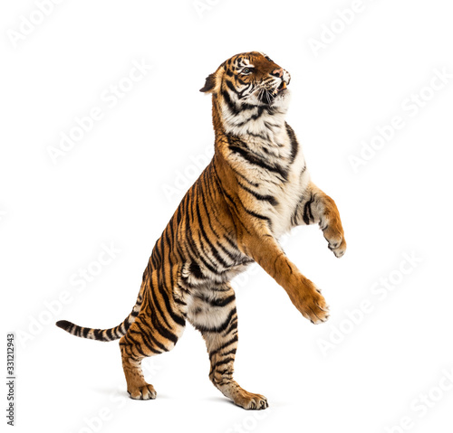 Male tiger jumping, big cat, isolated on white Wall mural
